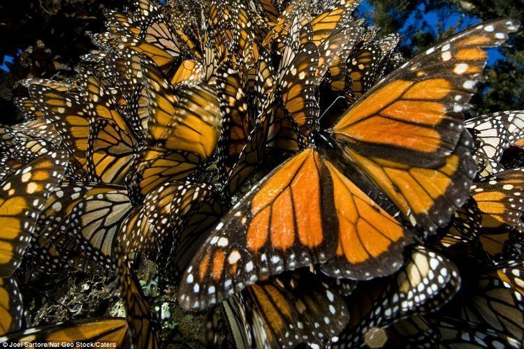 Monarch Migration Close