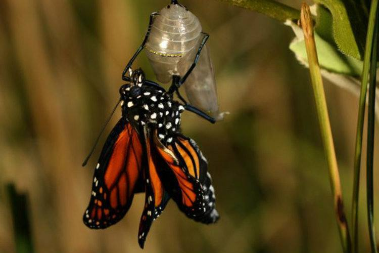 Monarch Migration Emerging