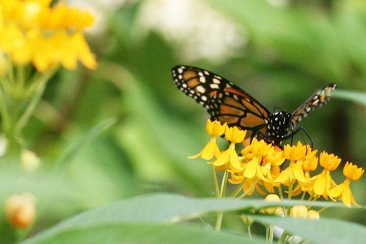 Monarch Migration Flower