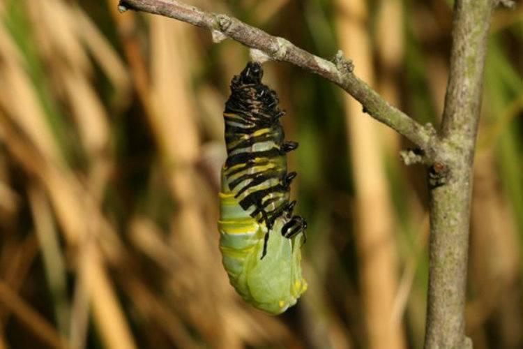 Monarch Migration Caterpillar