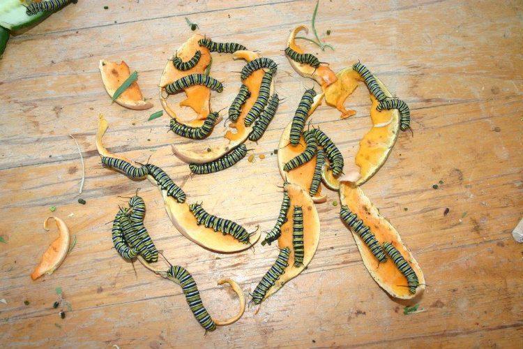 Caterpillars Eating