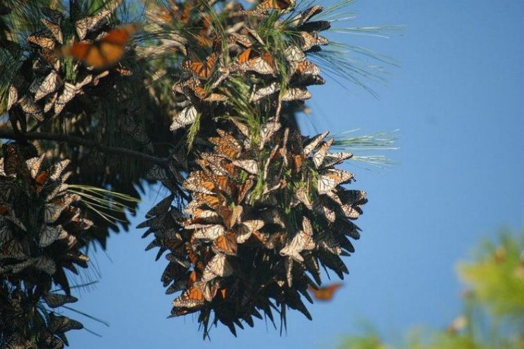Monarch Migration Colony