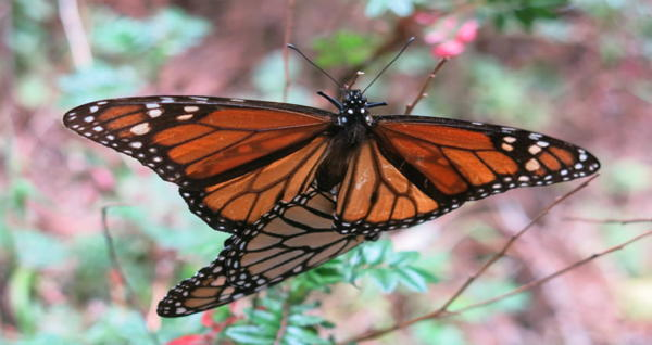 What's Happening To Monarch Butterfly Migration?