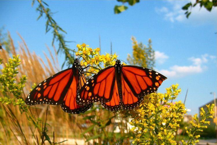 Monarch Migration Pair