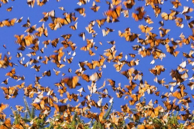 Monarch Migration Sky Swarm