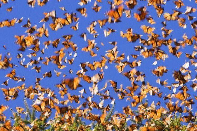 Monarch Migration Sky Swarm