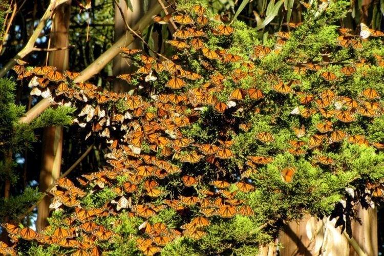 Monarch Migration Tree