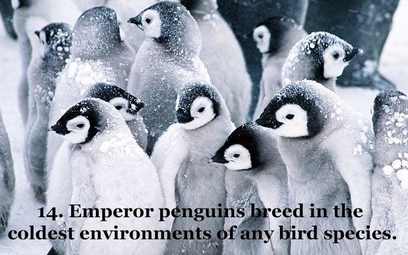Adorable Emperor Penguins
