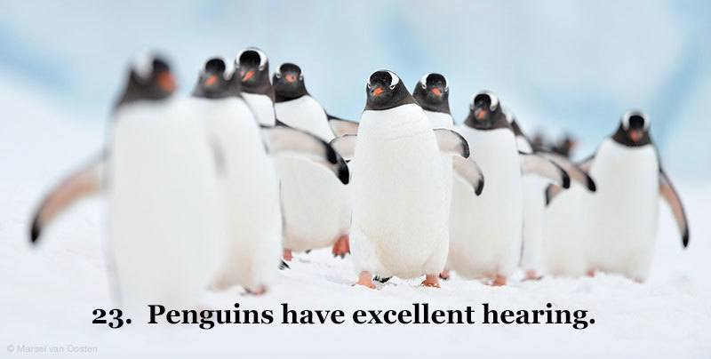 Penguins Good Hearing