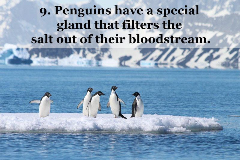 Penguin Facts Gland