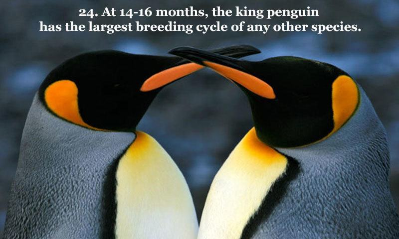 Breeding Cycle King Penguin
