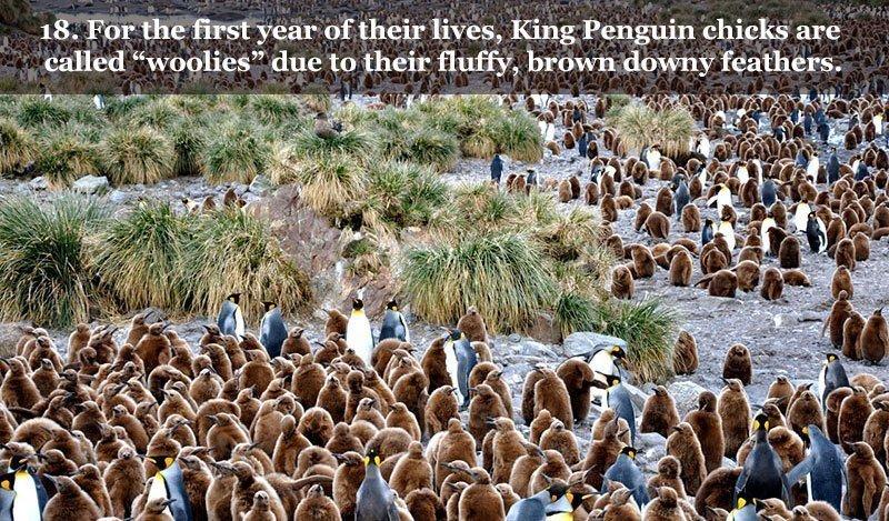 Brown Penguin Chicks