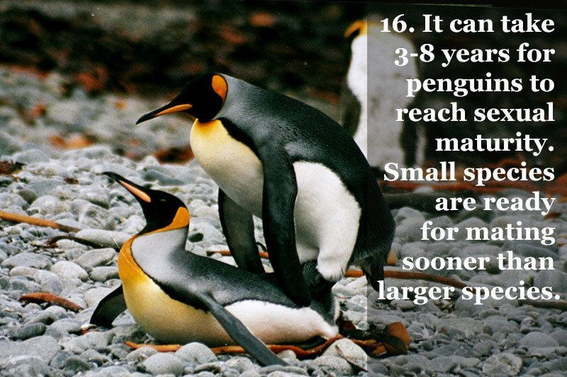 Mating Penguin Facts