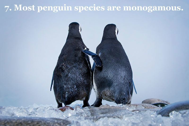 Monogamous Penguin Facts
