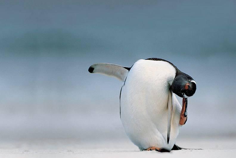 Odd Penguin Facts
