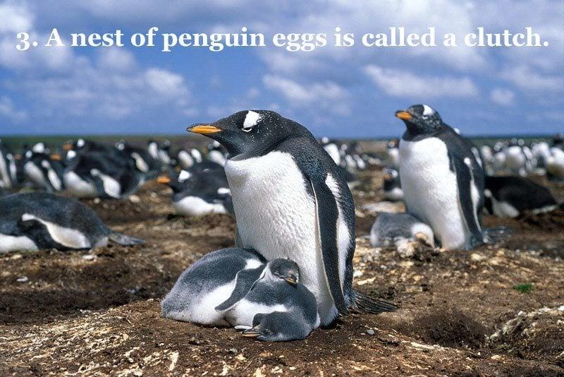Penguin Clutch Nest