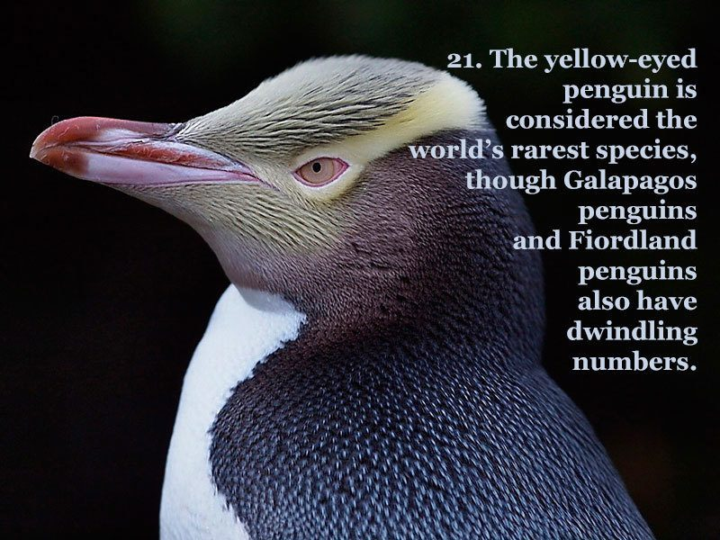 Yellow Eyed Penguin Facts
