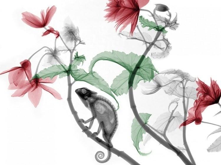X-ray Art Chameleon