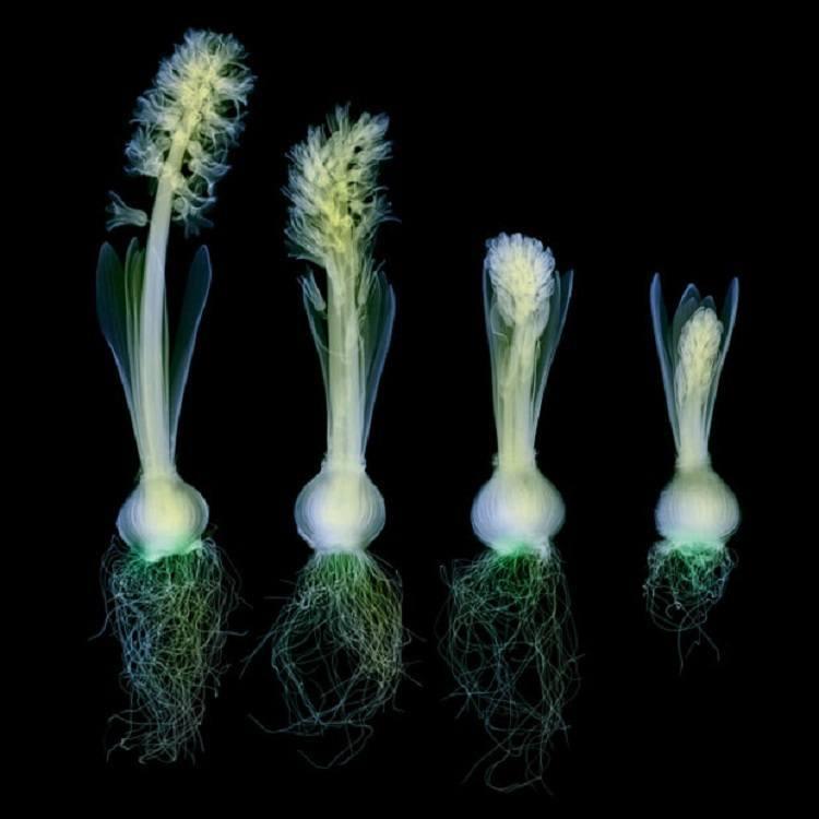 X-ray Art Flowers