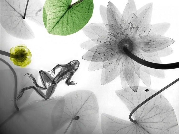 X-ray Art Frog