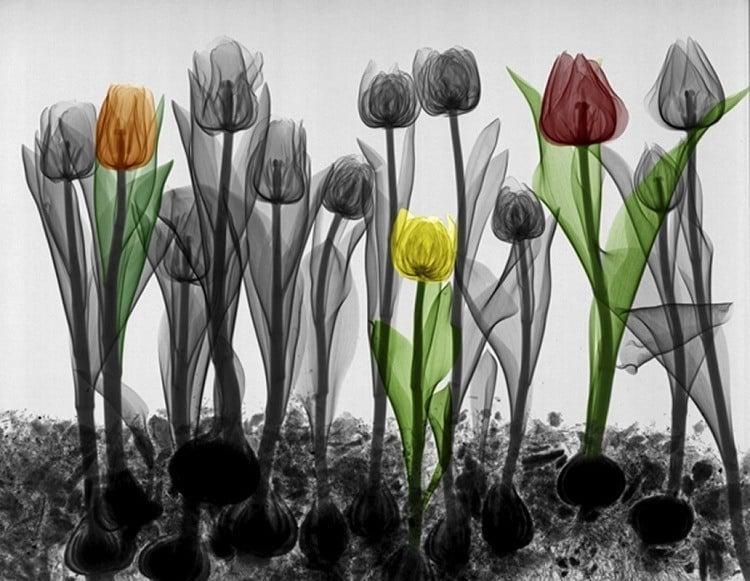 X Ray Tulips