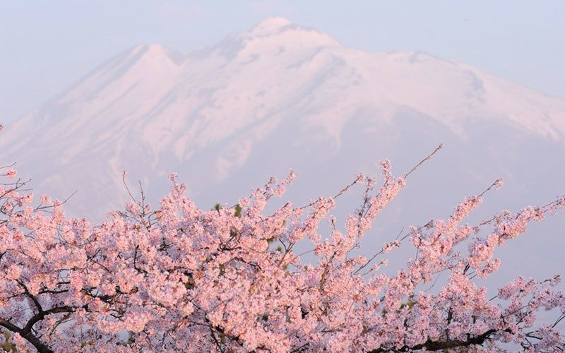 Cherry Blossoms In Front Of Japan's Mountains