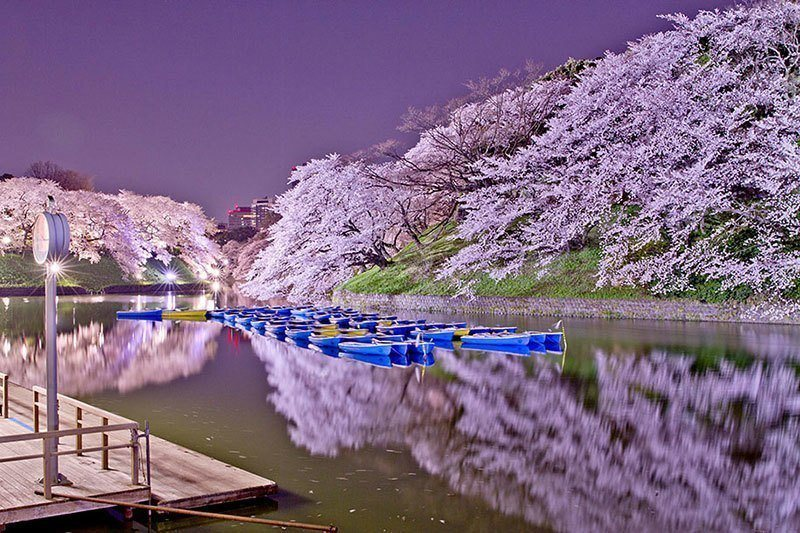 Japanese Cherry Blossoms at Night