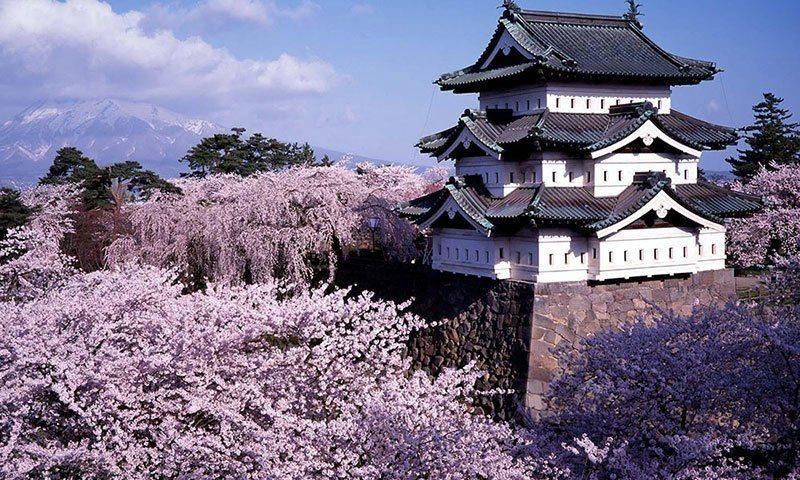 Beautiful Sakura Blooms