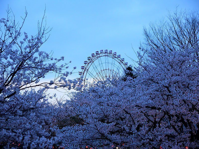 Blooming Japanese Cherry Blossoms Photos