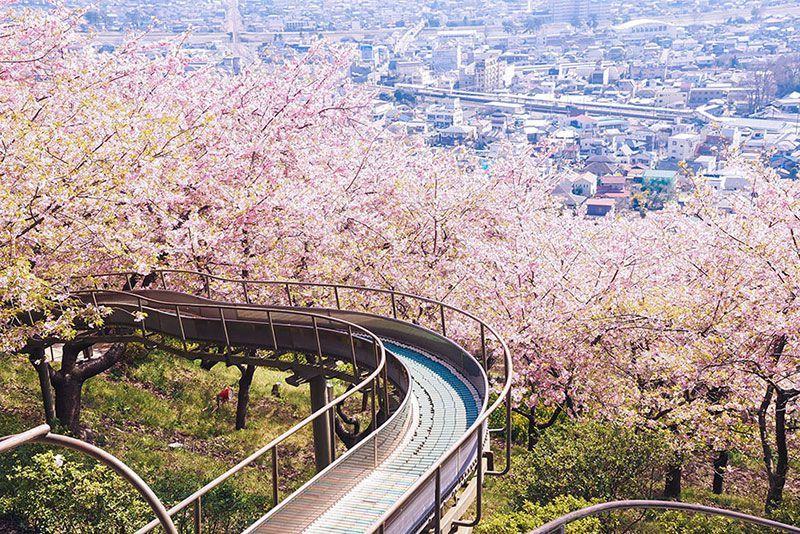 Spring Blooms In Japan