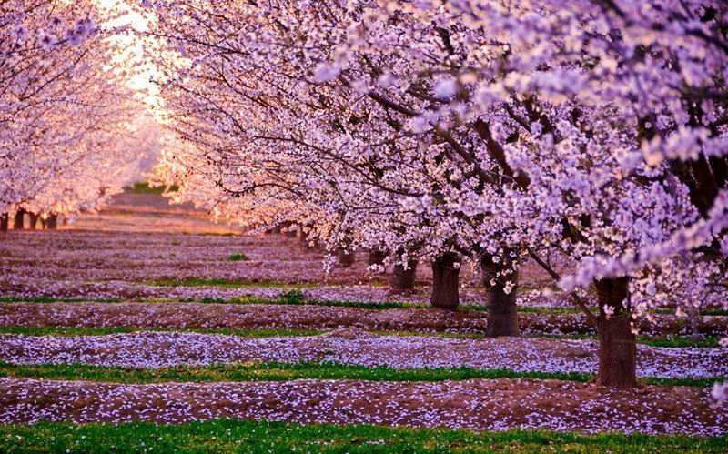 Magical Pictures of Cherry Blossoms