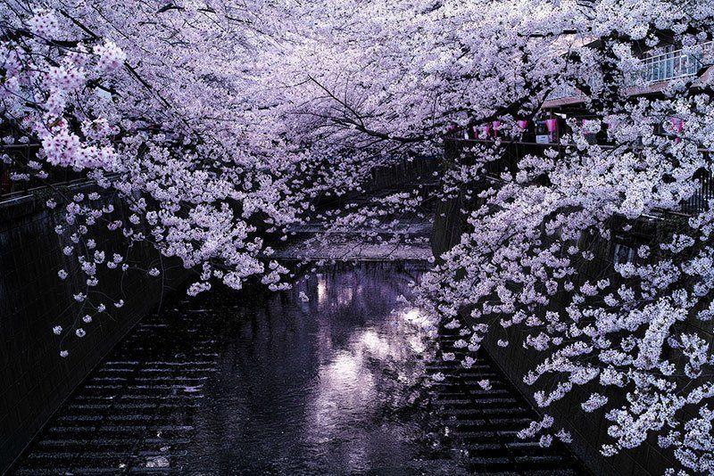 Meguro River Sakura Blooms