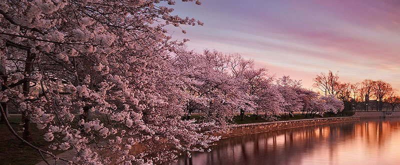 Anese Cherry Blossoms Pictures