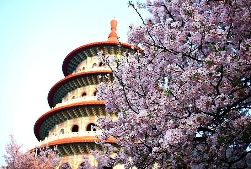 New Taipei City With Cherry Blossom Flowers