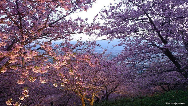 Photos Of Japanese Cherry Blossoms