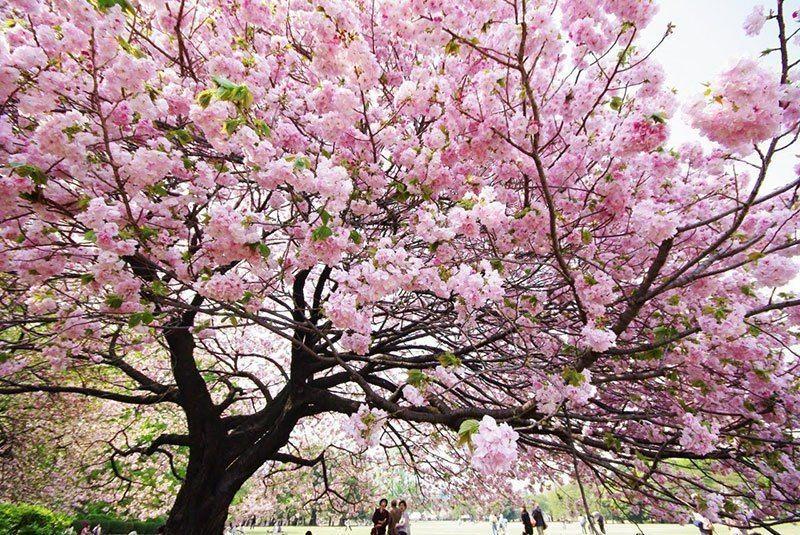 Japanese Cherry Tree Up Close