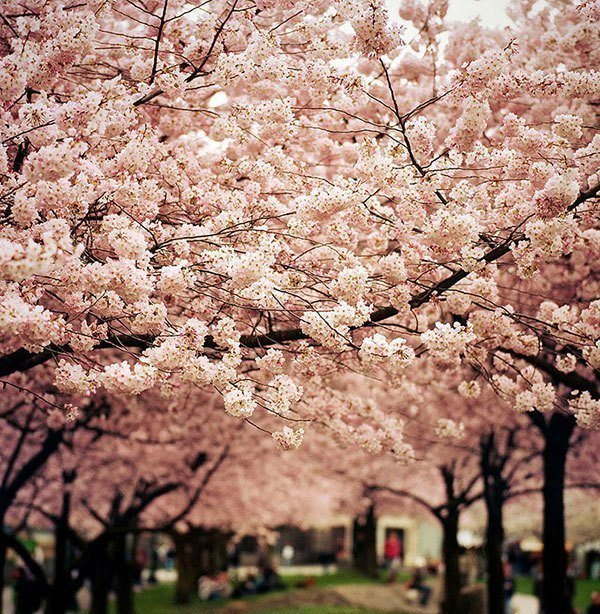 Meaning of Cherry Blossoms