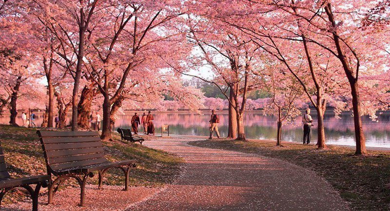 Cherry Blossoms Pictures