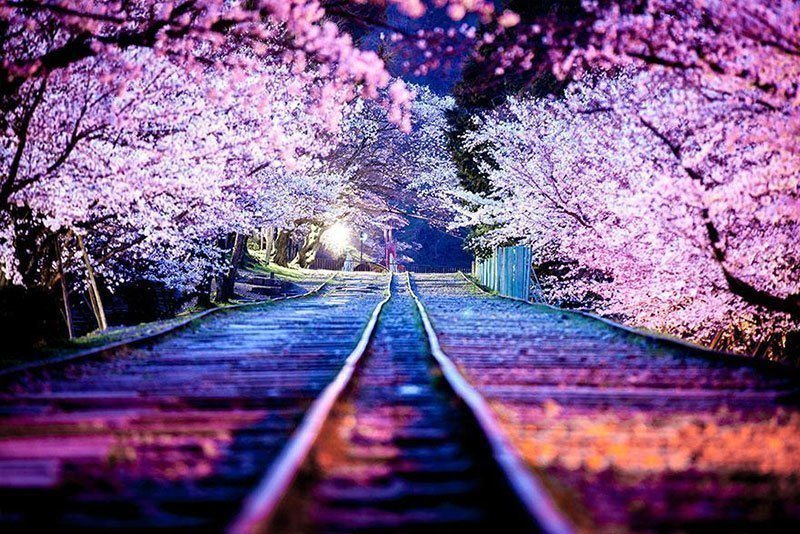 Railway Beneath Blooming Sakura