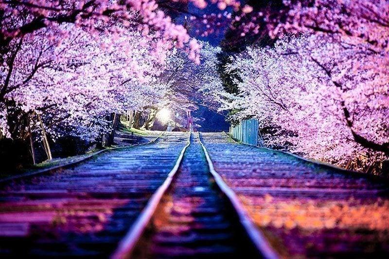 Railway Beneath Blooming Sakura
