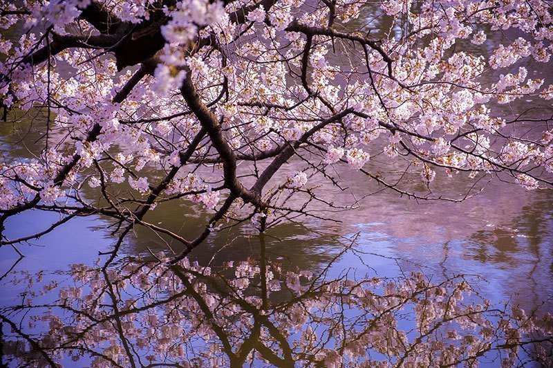 Spring Blooms in Reflection