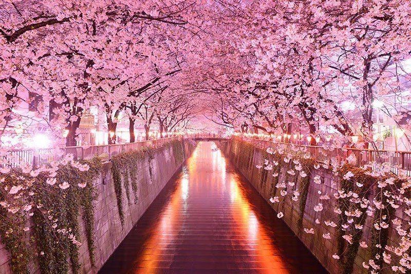 Sakura Tunnel in Japan