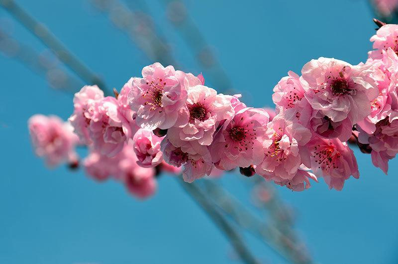 Sakura Blooms in Japan