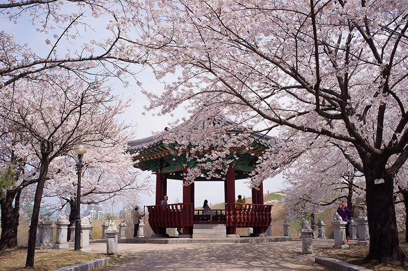 Seoul Cherry Blossoms