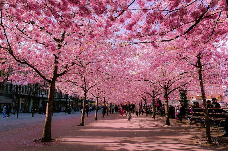 Japanese Cherry Blooms in City