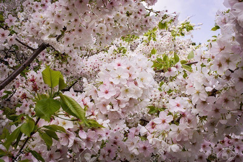 Close Up Of Japanese Cherry Blossom Flowers
