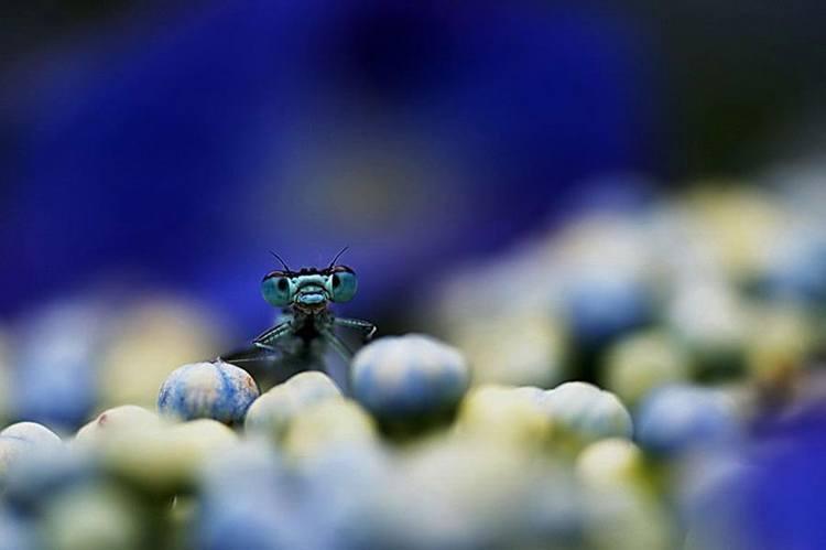 damselfly macro photos blue