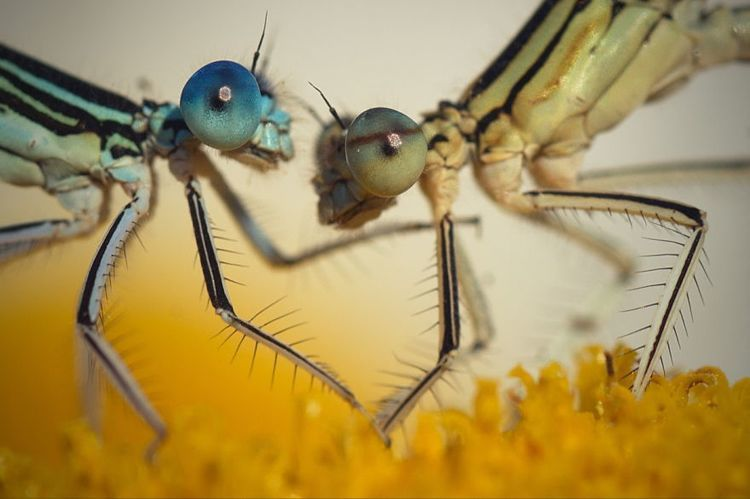 damselfly macro photos face off