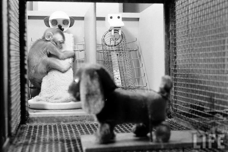 Sad monkey in Harlow's experiments