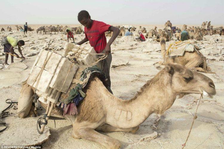 Merchant Camel In Dallol Ethiopia